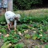Clipping Butterbush squash.