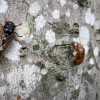 Cicadas on a tree trunk.
