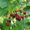 Serviceberries, wild