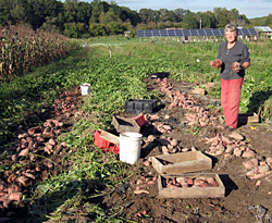 Sweet Potato Harvest 2013